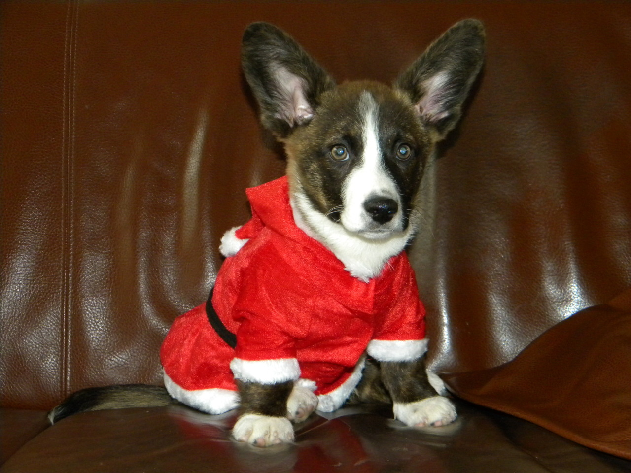 corgiaddict:  This is our cardigan Spencer, ready for Christmas.