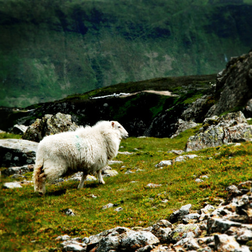Everyone loves sheep… especially on the top of Cader Idris in Wales.