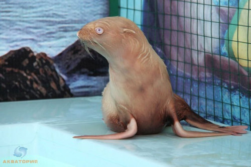 alchymista:    Adorable Albino Seal Finds Accepting Home An adorable albino seal pup who was rejected by her family has found a home — and her own webcam — at a Russian dolphinarium. A Russian photographer first came upon the tiny, lone seal on Tyuleniy Island, located in the Sea of Okhotsk, in September. The young pup had been rejected by her family members, who have black coats, because of her rusty brown fur and pale blue eyes.   The seal has since been adopted by the Akvatoria dolphinarium in Adler, Russia, where she has her own special, brightly colored enclosure with a pool. Her rescuers gave her the name Nafanya after a Soviet-era cartoon character with similarly colored fur. Dolphinarium personnel also created a website for Nafanya, which features a webcam that documents her day-to-day activities as she swims and plays in her enclosure. After her monthlong quarantine is complete, Nafanya will be introduced to the other seals living in the dolphinarium. Read More