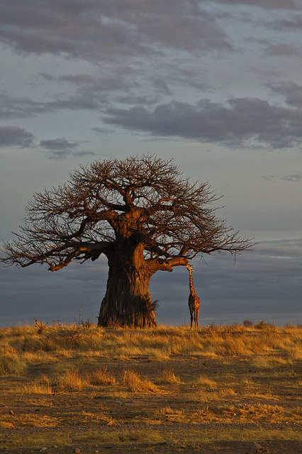 travelfiend:  wild-at-heaart:  Morning at Ruaha National park. by Marjut Tuulikki on Flickr.  Tanzania
