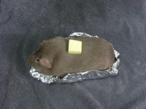 guineapigsinhats:  I'm a hot potato!  Heeeeeee Haaaaaa Too funny!