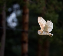 Hey up Mr Barn owl (by: Oliver C Wright)