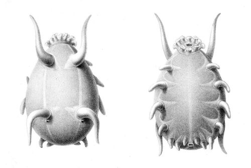 "Scotoplanes globosa (""Sea Pig"") from   Report  on the scientific results of the voyage of H.M.S. Challenger during the  years 1873-76 : under the command of Captain George S. Nares, R.N.,  F.R.S. and Captain Frank Turle Thomson, R.N (1882)"