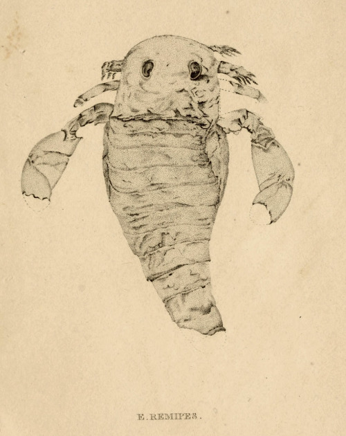 Eurypterus remipes From: 'Annals of the Lyceum of Natural History of New York' (1824)