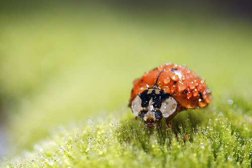 c-h-a-o-s:  ladybug grazing (by Nick Harris1)