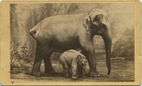 "tuesday-johnson:  ca. 1880, [portrait of Elephant ""Hebe"" and her baby ""Young America""], A.W. Rothengatter & Co."
