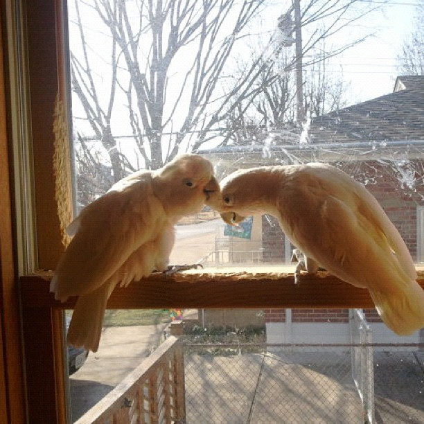 Boo and Arthur in the window part 3 (last pic) #love #bird #petsagram #cockatoo  (Taken with instagram)