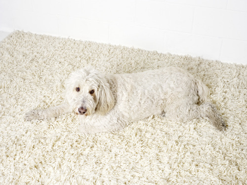 laughingsquid:  Buddy, The Carpet Camouflage Dog