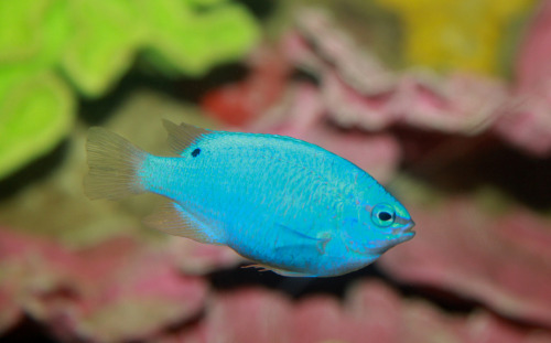 (Source) The Blue damselfish (Chrysiptera cyanea), also known as sapphire devil, or orangetail blue damselfish, is a popular saltwater aquarium fish from the Indo-Pacific.  It is estimated to be the most sold marine aquarium fish in the United  States. It grows to a size of 8.5 cm in length.