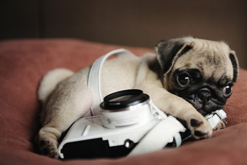 cutepugpics:  Cute little fur baby was born to be photographed!