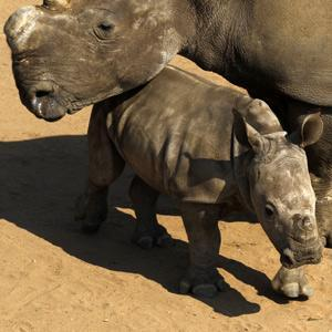 The Future of Rhino lies with captivity management