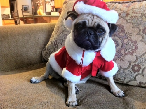 Jingle Pugs, Jingle Pugs, Jingle all the way! (submitted by tiffanyiphotography!)