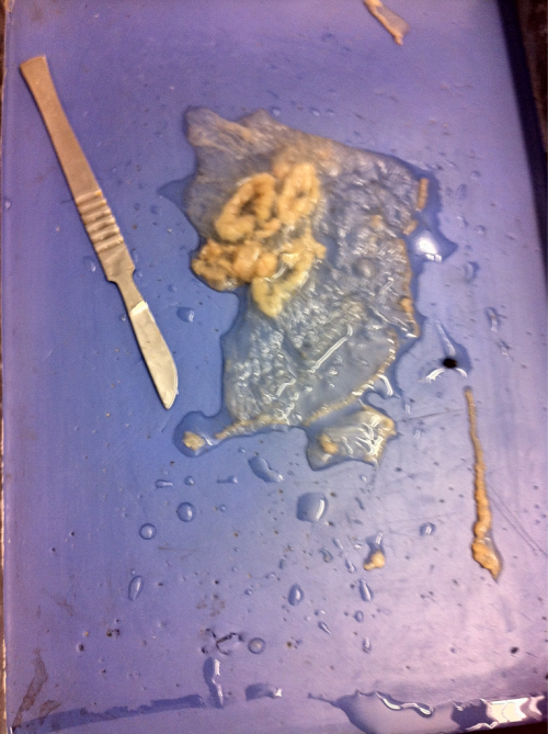 Jellyfish dissection woo exciting biology classes yayy.   Except now I have to write a lab report by tomorrow. Mehh.