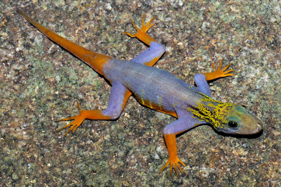 "nationalpost:  'Elvis' monkey and psychedelic gecko new animal finds: WWFA wildly-colored gecko, a fish that looks like a gherkin, and a monkey with an Elvis-like hairstyle are among the more than 200 new species discovered in the Greater Mekong region last year, environmental group WWF said on Monday.The area's diversity is so astonishing that a new species is found every two days, but regional cooperation and decision-making must take centre stage to preserve its richness, the group added.""While the 2010 discoveries are new to science, many are already destined for the dinner table, struggling to survive in shrinking habitats and at risk of extinction,"" said Stuart Chapman, Conservation Director of WWF Greater Mekong, in a statement. (Photo: L. Lee Grismer/Handout/Reuters)"