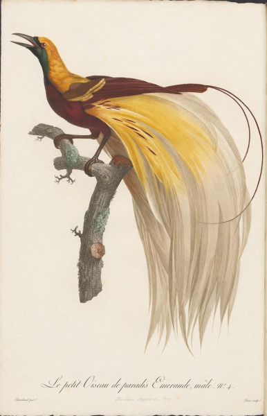 drawnblog:  Some lovely paintings of birds from a set of books from 1806 by by François Levaillant and Jacques Barraband. (via BibliOdyssey: Birds of Paradise)