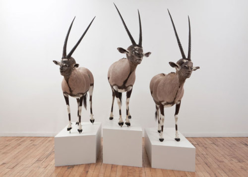 Kate Clark,Ceremony, 2011Medium: Gemsbok hide, foam, horns, thread, clay, pins, rubber eyes (lifesize) variable