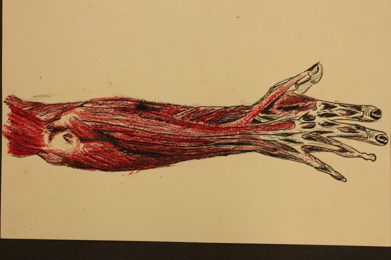 mr-baker:  Arm muscle diagram - Oil pastel and quink