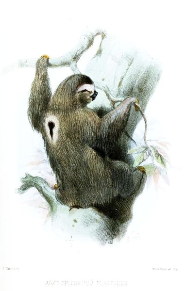 It is Monday. Monday is sloth-like to me. Arctopithecus flaccidus [now Bradypus tridactylus flaccidus] This is a subspecies of the pale-throated sloth, which is one of the three-toed sloths. Pale-throated sloths, like most of their genus, live mostly solitary lives, but are around more creatures than you might think. In addition to the green algae that they live mutalistically with, they also have multiple species of insects, which live commensally within their fur. The sloth moth and several beetle species live on the sloth itself, and lay their eggs in its droppings on the ground. The sloth provides both heat and camouflage to the insects, and the insects themselves don't harm the sloth, so there is no benefit to expending energy removing them. Proceedings of the Zoological Society of London. Illustrated by Joseph Smit, 1871.
