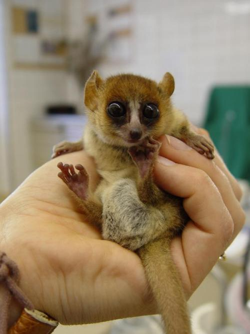 The Madame Berthe's mouse lemur  (Microcebus berthae) is believed to be the world's  smallest living primate, at less than 100mm long and weighing only 30g. MY FAVORITE LEMUR EVER! <3