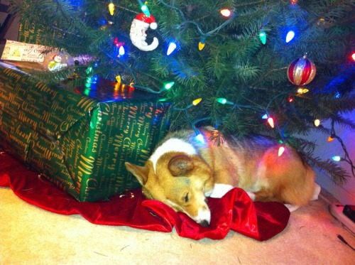 corgiaddict:  Corgi under the Christmas Tree…     best Christmas present ever!