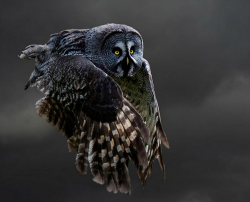 Flying Gray Owl (by: Kevin Pepper)