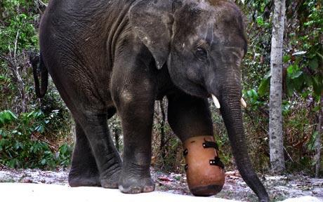 vegan-rage:  Elephant With Prosthetic Foot In Cambodia. A very touching story. In 2007, orphaned baby elephant Chhouk was found wandering alone in the forests of Mondulkiri Province, Cambodia. Badly emaciated and separated from his mother, this endangered Asian elephant had lost his left front foot due to injuries sustained from a poacher's snare. The infection and severity of the illness represented certain death for a young elephant alone in the forest. The Cambodian government requested the assistance of Wildlife Alliance and wildlife rescue and care director Nick Marx, who made the arduous journey and stayed alongside Chhouk for more than a week while his immediate injuries were tended to. When Chhouk had been stabilized, the injured elephant was transported by truck to Phnom Tamao Wildlife Rescue Center in a difficult and treacherous 26-hour journey. Chhouk was severely malnourished, his stump was badly infected, and nearly 5 inches of infected tissue and bone had to be removed. After his immediate survival was secure, his long-term care was the next concern. Without a foot, he was suffering severe balance issues, and the strain on his hips and back would make his lifelong welfare unlikely. With funding assistance from SeaWorld & Busch Gardens Conservation Fund, and technical support from the Cambodian School of Prosthetics and Orthotics, Chhouk was fitted with his first prosthetic foot in 2009. Because of his injuries, Chhouk will never be a candidate for release into the forest, but he is immensely beloved both inside Cambodia, and as a global ambassador for Cambodia's threatened Asian elephant populations. Featured on television in Australia, the U.S., and Britain, he is an eloquent messenger to the world about the need to save Asia's wildlife and forests. Elephants are rough on hardware, and each year until he matures, Chhouk will need a replacement foot. As he continues to grow into his adolescence, he requires new prostheses to fit his growing frame and replace those lost to wear and tear. This month, Wildlife Alliance and the Cambodian School of Prosthetics and Orthotics fitted Chhouk with his fourth prosthesis.