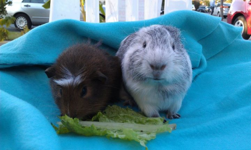 "More from our friends at Orange County Cavy Haven: ""These two boys met at our Supply Day and have since been great buddies. Wash, on the right, is one of our ear-challenged Baldwin Park piggies. He might look a little different but they are both young and healthy and just waiting for a good home! Many more piggies available on our website:  www.cavyhaven.org   Email us for more info! Cavyhaven_adoptions@yahoo.com """