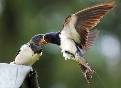 NOM! life:  Uh oh! Bye, bye, birdie… OK, looks can be deceiving — a swallow feeds a chick during a spell of rainy summer weather in Seehof, Germany. (see more — 2011 Pictures of the Year)