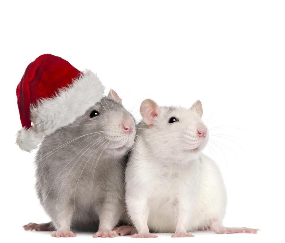 "Rats: Holiday spirit, in rodent form - During the holidays, if kids become brats, you can shout with a straight face, ""Start acting like rats!"" According to a study in the journal Science, University of Chicago researchers discovered that lab rats can show empathy - a quality not previously demonstrated in rodents - at levels that are rare even in primates."