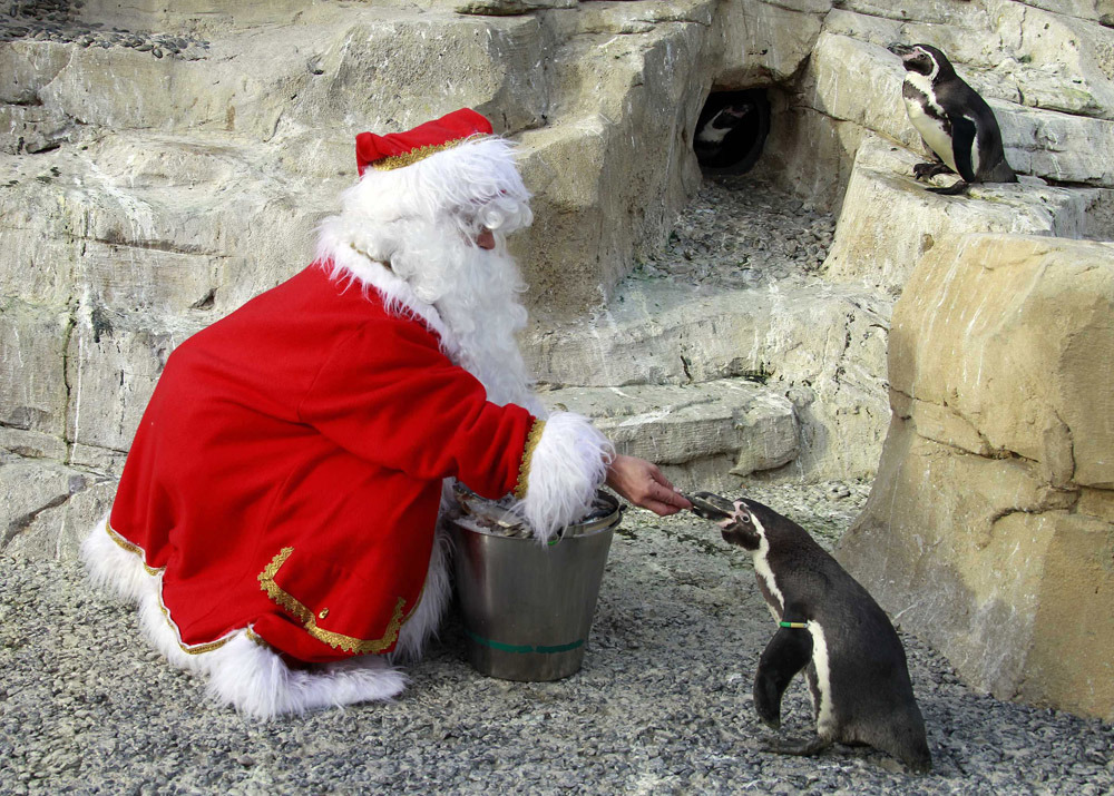 Odd Christmas photo of the daySanta Claus feeds a Humboldt penguin at Marineland aquatic park in Antibes, south-eastern France, December 13, 2011. (Photo: Eric Gaillard/Reuters)