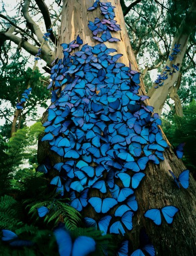 "npr:  WOWWWWWwwwww publicradiointernational:  kqedscience:  Blue Morpho butterfly tree  Nature wins out in the ""wondrous"" category every time.   Aren't they gorgeous?"