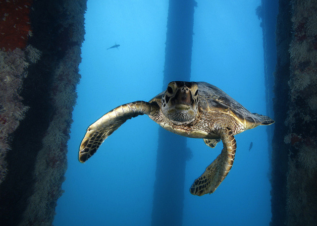 Image description: This young green sea turtle swims under the Midway Island Pier in the Papahānaumokuākea Marine National Monument, Hawaii. Photo by Greg McFall, NOAA's National Ocean Service