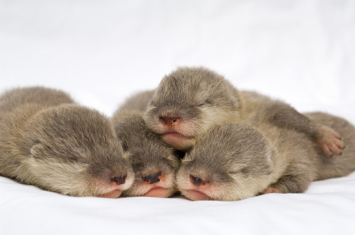 Asian Small-Clawed Otter Pups
