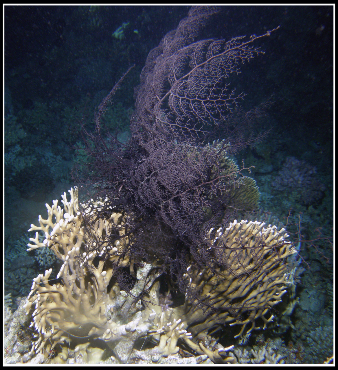 Pic of the day: Purple soft coral. Location: Temple (Nightly). Red Sea