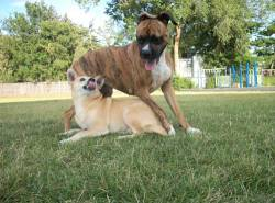 Submitted by Liz T: These are my dogs Sprout and Buddy. Sprout, we think, is an African Boerboel  (although she was rehomed as a boxer) and Buddy is a Shiba Inu and  Basenji cross. They're both awesome! Original Article