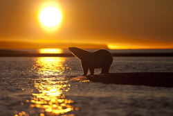 (via Stranded polar bears at Kaktovik, Barter Island, Alaska - in pictures | Environment | guardian.co.uk)