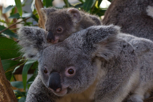 sdzoo:  Koala & Joey on Flickr.