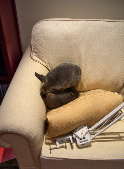 npr | kqedscience:   Baby Seal Enters House, Sleeps On Couch