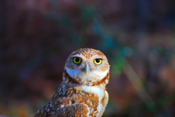 Burrowing Owl (by: jwthomasphx)