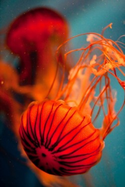 LOVE jellyfish (via Underwater Wonders / orange | Flickr - Photo Sharing!)