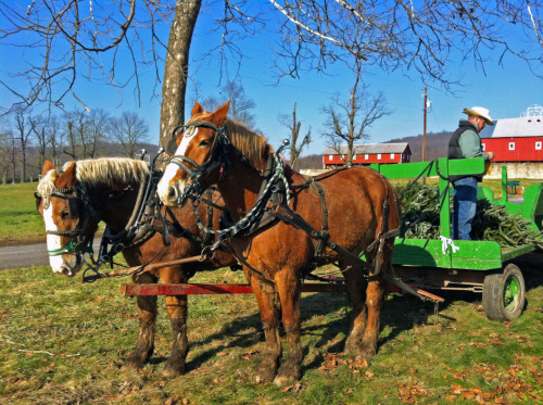 Finding a Christmas tree on a horse-drawn wagon