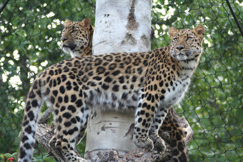 tigersandcompany:  Amur Leopards (by findeerror)