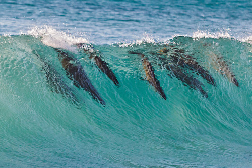 Seals surfing in the waves at Bakoven, Cape Town, South Africa. Focas surfando nas ondas em Bakoven, Cidade do Cabo, África do Sul. Photo copyright: John Maarschalk aka - Just John - (All Rights Reserved) More photos: www.justjohnimages.blogspot.com www.justjohnimages.com