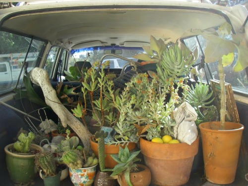 freecityfreemind:  car full of succulents! Basic Goodness