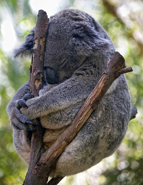wild-at-heaart:  Koala Meditating (The ultimate koala photo?) by Erik K Veland on Flickr.
