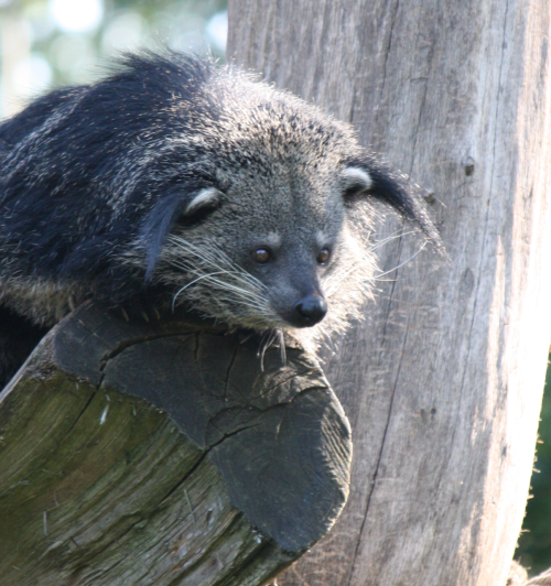 iamciska:  To get this out of the way immediately, this is it, a binturong, cute eh?!? For more information http://en.wikipedia.org/wiki/Binturong