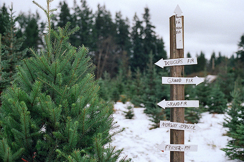 4kingdoms:  grand fir (by kayleyhyde)