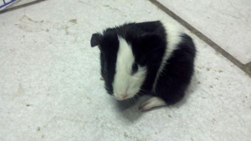 "PETFINDER PIGGIES OF THE DAY: BABIES!!!  Guinea Pig Babies ABC Small Animal Rescue Huntingdon, PA  814-386-3159 abcsmallanimalrescue@yahoo.com  ""Baby guinea pigs ready for loving forever homes! Due to unfortunate living conditions, ABC has recently taken MANY guinea pigs into our shelter, several of which had babies on the way. We currently have 2 litters of babies ready for adoption and more on the way. These little sweethearts make great pets and would love to be a part of your family. If you would like to come meet our little ones, or consider giving a great home to one of our adult piggies who have had such a tough life, email or call today to schedule an appointment. AB&C Small Animal Rescue is located in Huntingdon, PA 16652. WE DO NOT ADOPT OUT OF STATE. ***All adoptions require 2 appointments***"