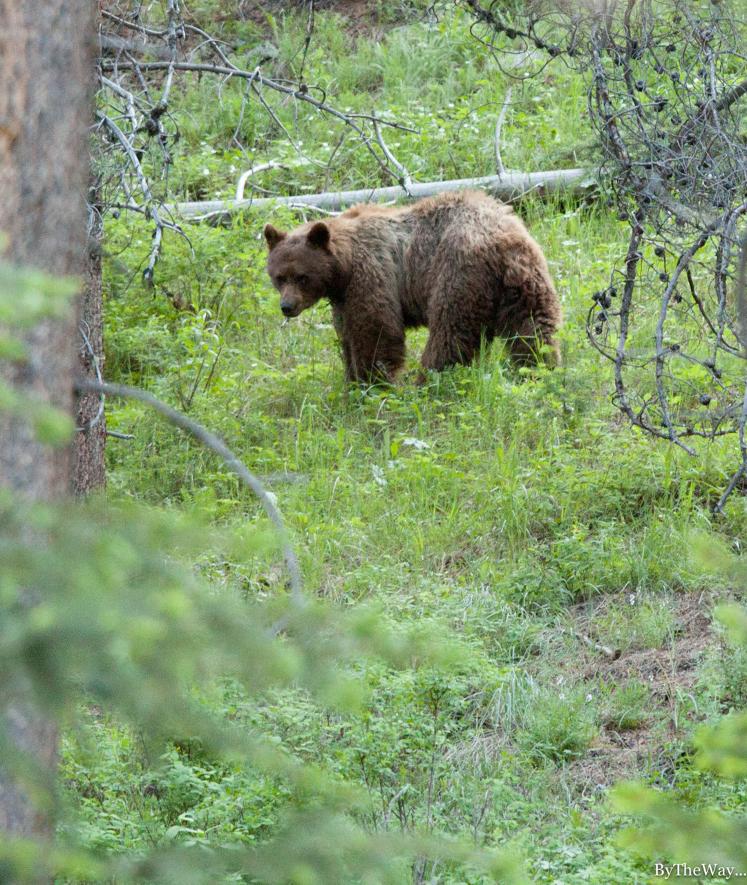 Grizzly bear, Yellowstone National Park - USA