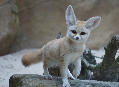 thepredatorblog:  Fennec Foxes are cute throughout their whole life.  (by sue-pandas)